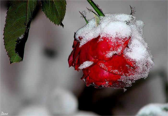 rose givrée 1_rose10