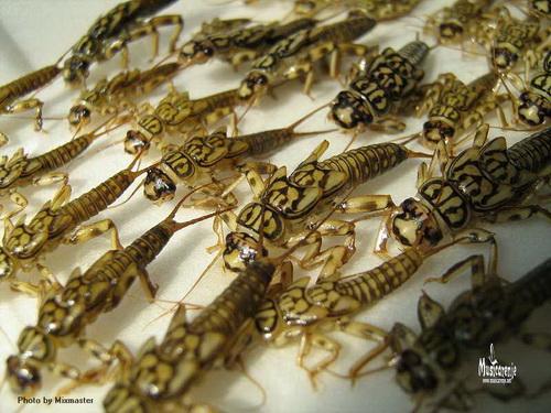 Šta su to vodeni insekti ? Kamenj10