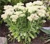 Mes plantes grasses Orpin_11
