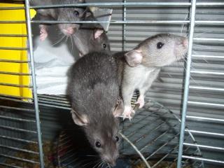 bébé rat a adopter !! marseille - Page 4 110