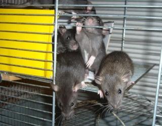 bébé rat a adopter !! marseille - Page 4 210