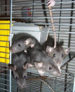 bébé rat a adopter !! marseille - Page 4 310