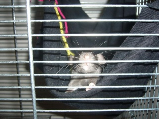 bébé rat a adopter !! marseille - Page 4 410