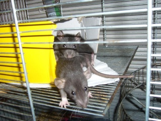 bébé rat a adopter !! marseille - Page 4 510