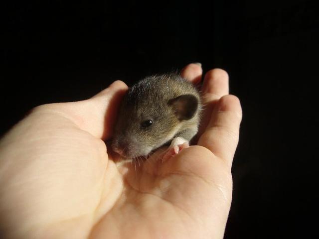 bébé rat a adopter !! marseille - Page 3 Aata10