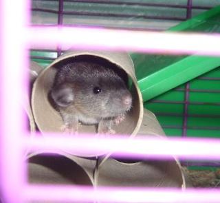 bébé rat a adopter !! marseille - Page 3 Coucou11