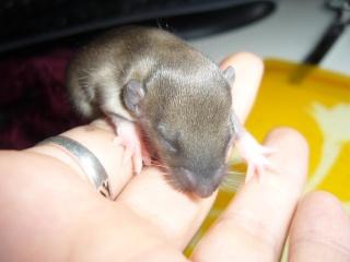 bébé rat a adopter !! marseille - Page 2 Femell18