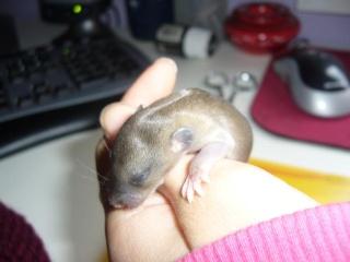 bébé rat a adopter !! marseille - Page 2 Femell20