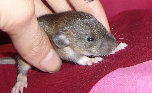 bébé rat a adopter !! marseille - Page 3 Femell25