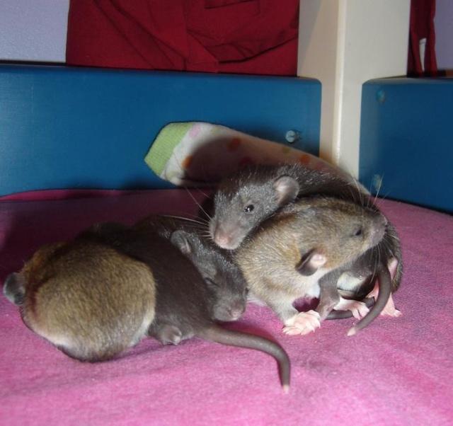 bébé rat a adopter !! marseille - Page 3 G10