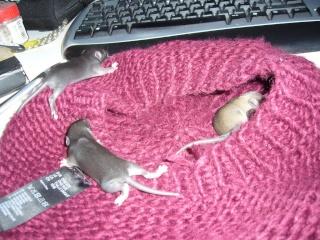 bébé rat a adopter !! marseille - Page 2 G310