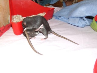 bébé rat a adopter !! marseille - Page 4 Getatt10