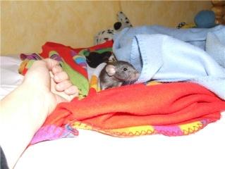 bébé rat a adopter !! marseille - Page 4 Getatt11