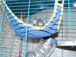 bébé rat a adopter !! marseille - Page 4 Getatt12