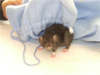 bébé rat a adopter !! marseille - Page 4 Getatt13