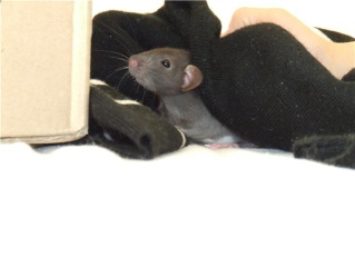 bébé rat a adopter !! marseille - Page 4 Getatt14
