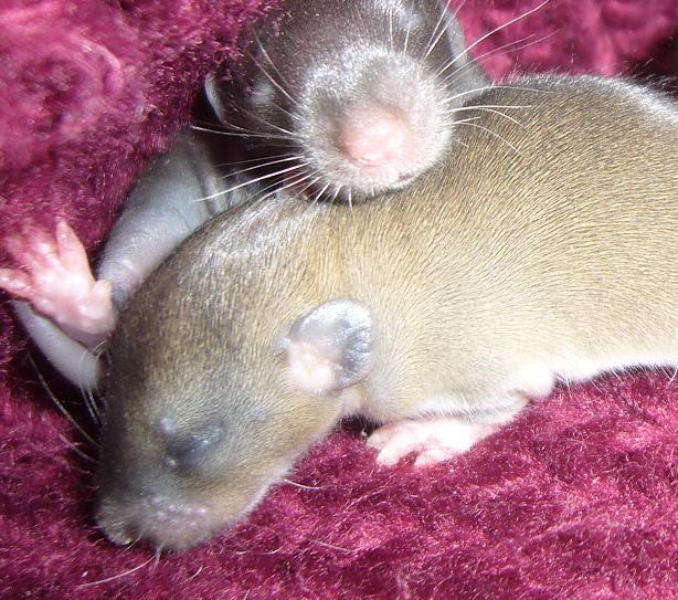 bébé rat a adopter !! marseille - Page 2 Gfgf10