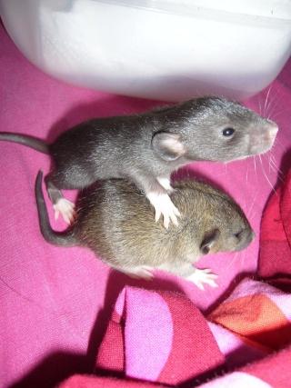 bébé rat a adopter !! marseille - Page 3 Gg10