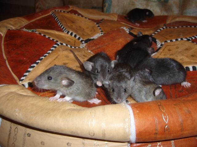bébé rat a adopter !! marseille - Page 3 Groupe11