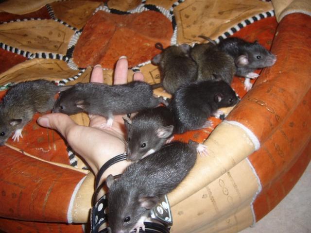 bébé rat a adopter !! marseille - Page 3 Groupe12