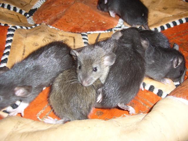 bébé rat a adopter !! marseille - Page 3 Groupe13