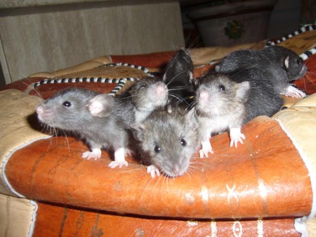 bébé rat a adopter !! marseille - Page 3 Groupe14