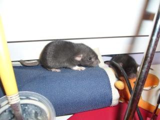 bébé rat a adopter !! marseille - Page 3 La_bal10