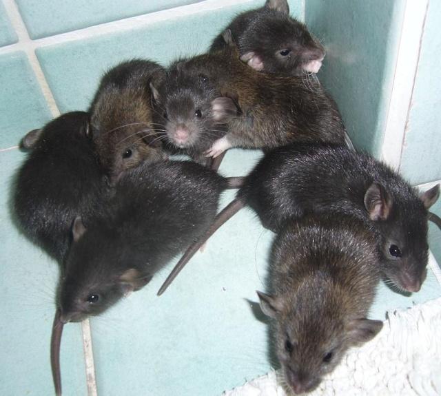 bébé rat a adopter !! marseille - Page 3 La_tro10