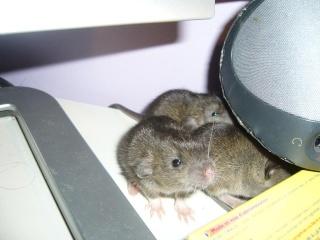 bébé rat a adopter !! marseille - Page 3 Le_cla11