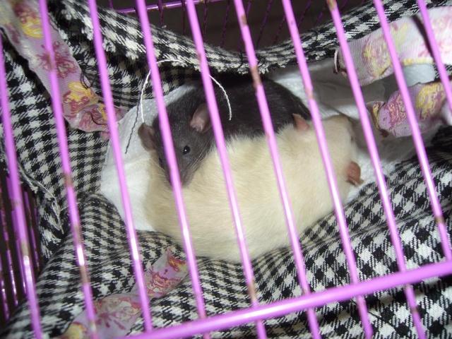 bébé rat a adopter !! marseille - Page 4 Les_pu10