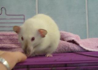 bébé rat a adopter !! marseille - Page 2 M10