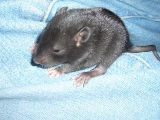 bébé rat a adopter !! marseille - Page 3 Male111