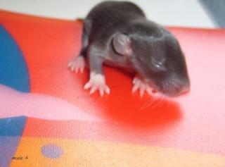 bébé rat a adopter !! marseille - Page 2 Male410