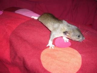 bébé rat a adopter !! marseille - Page 3 Male510