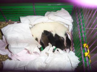 bébé rat a adopter !! marseille - Page 2 Maman10