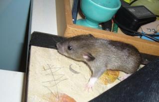 bébé rat a adopter !! marseille - Page 3 Nougat10