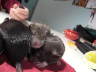 bébé rat a adopter !! marseille - Page 3 Oh11