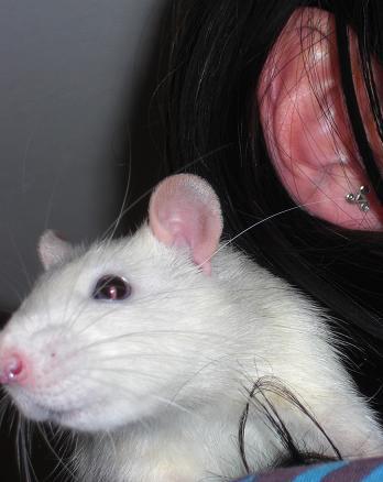 bébé rat a adopter !! marseille - Page 2 Popa10