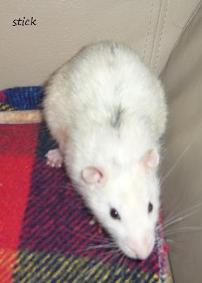 bébé rat a adopter !! marseille - Page 2 Pp10