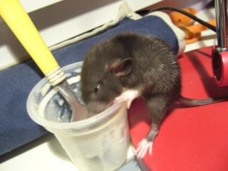 bébé rat a adopter !! marseille - Page 3 R412