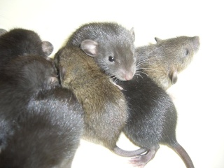 bébé rat a adopter !! marseille - Page 3 Raons10