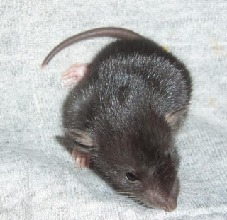bébé rat a adopter !! marseille - Page 3 Reglis10