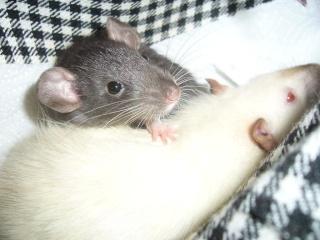 bébé rat a adopter !! marseille - Page 4 Reglis13