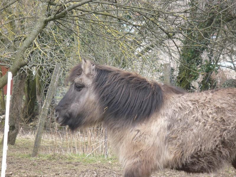 BISCOTTE -  ONC Poney née en 1983 - Protégée GPLV Biscot21