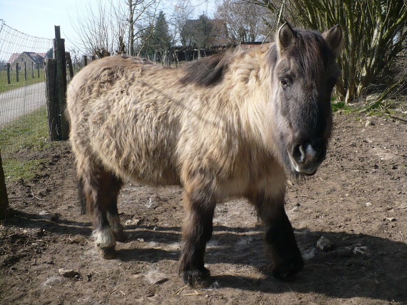 BISCOTTE -  ONC Poney née en 1983 - Protégée GPLV Biscot22
