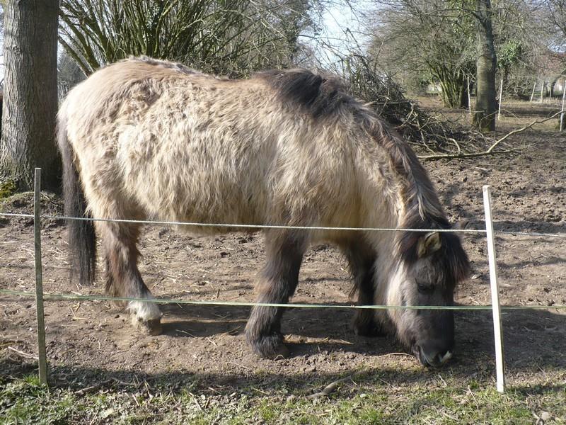 BISCOTTE -  ONC Poney née en 1983 - Protégée GPLV Biscot24
