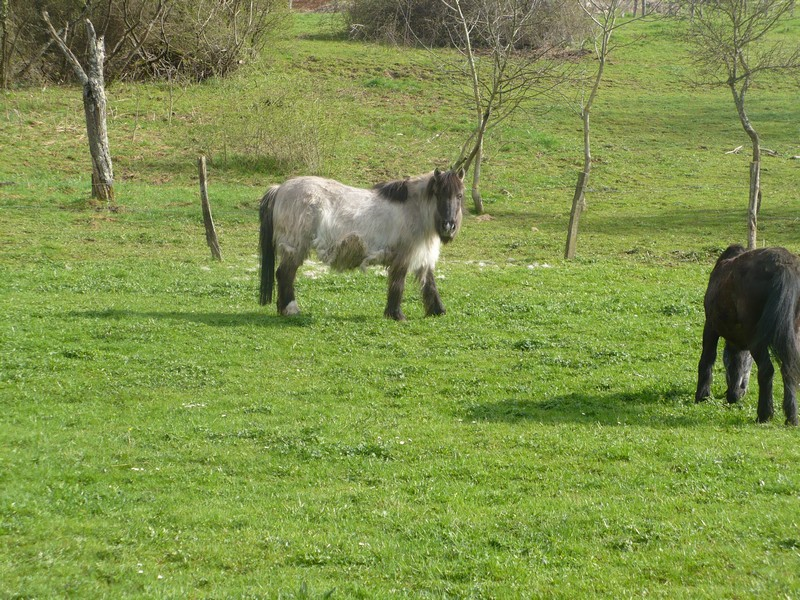BISCOTTE -  ONC Poney née en 1983 - Protégée GPLV Biscot38