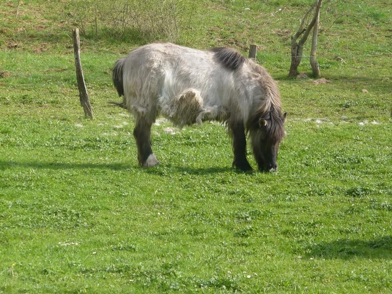BISCOTTE -  ONC Poney née en 1983 - Protégée GPLV Biscot39