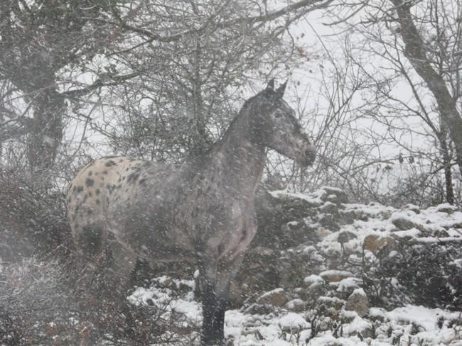 Mes appaloosas dans la neige ! P1020513
