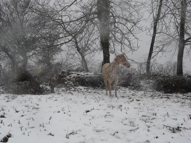 Mes appaloosas dans la neige ! P1020515